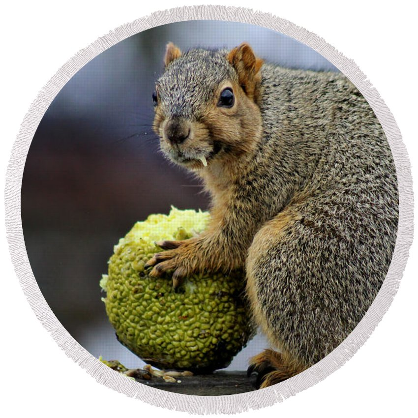 Squirrel Round Beach Towel featuring the photograph Hungry Squirrel 1 by Denise Irving