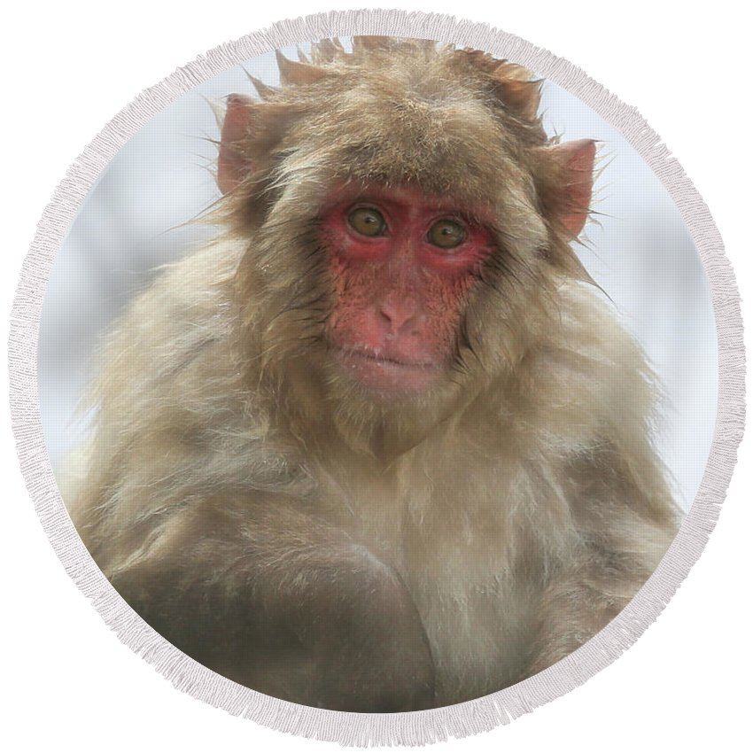 Snow Monkeys Round Beach Towel featuring the photograph I Think I Should Have Stayed In The Water by Leigh Lofgren