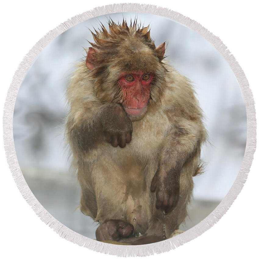Snow Monkeys Round Beach Towel featuring the photograph I'm Just Cold by Leigh Lofgren