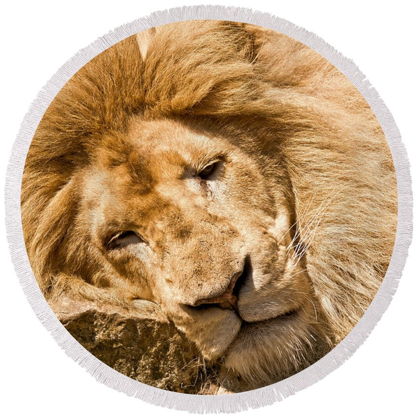 Lion Round Beach Towel featuring the photograph Im Sleeping by Scott Carruthers