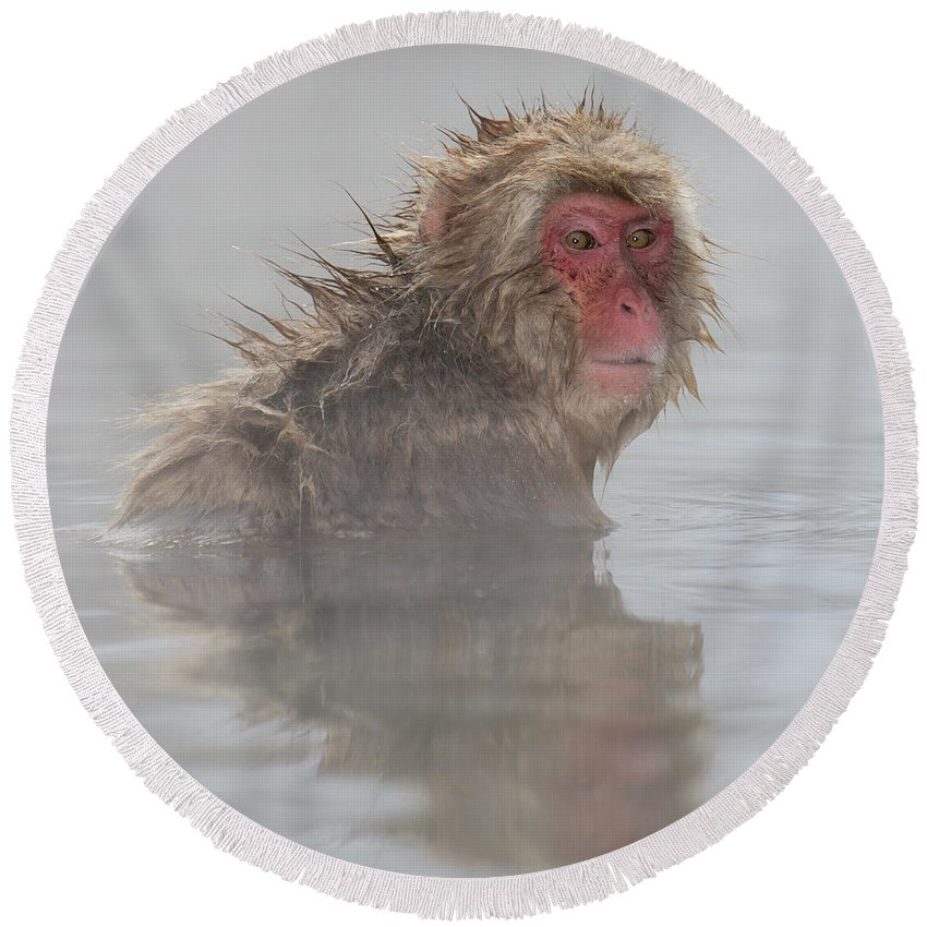 Snow Monkeys Round Beach Towel featuring the photograph I'm Still Cold by Leigh Lofgren