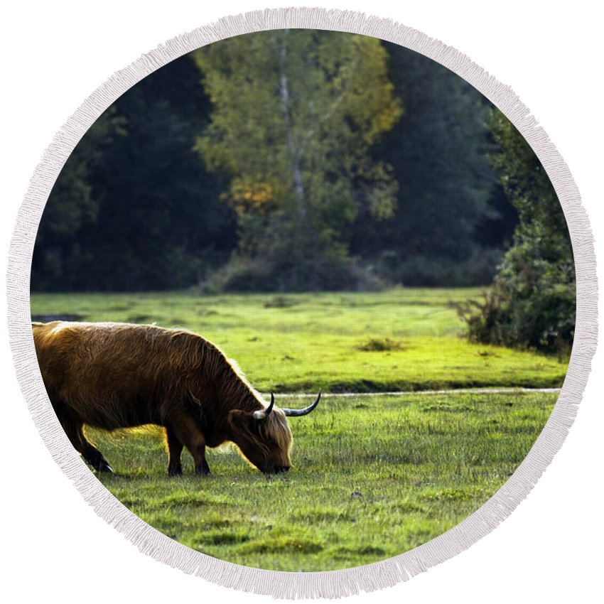 Heilan Coo Round Beach Towel featuring the photograph in New Forest by Angel Ciesniarska