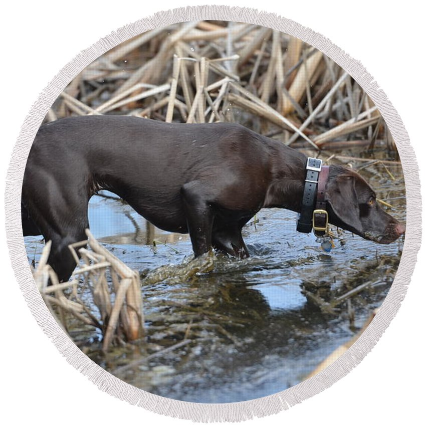 German Shorthaired Pointer Round Beach Towel featuring the photograph In The Marsh by Tammy Mutka