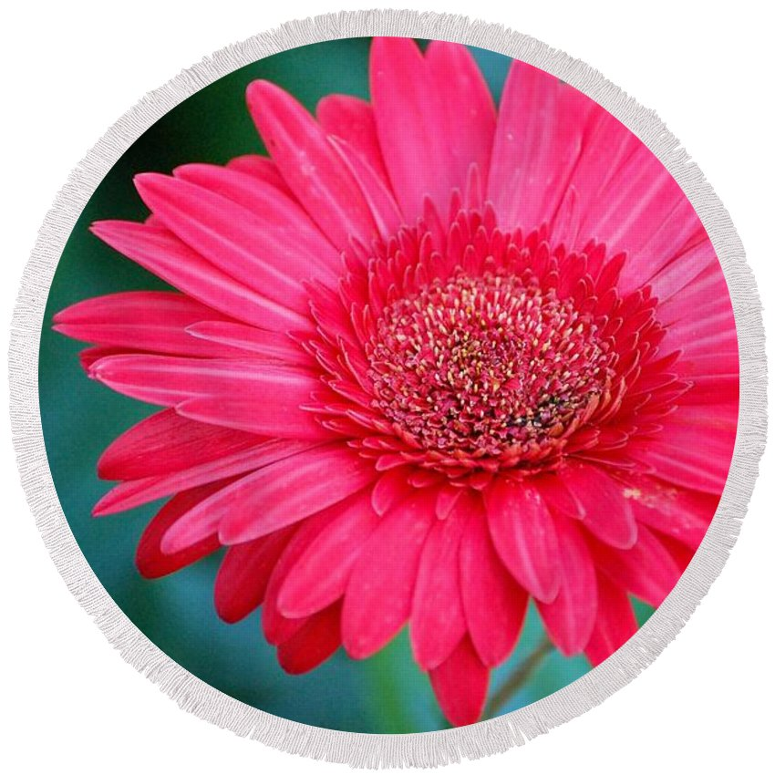 Gerber Daisy Round Beach Towel featuring the photograph In The Pink by Debbi Granruth