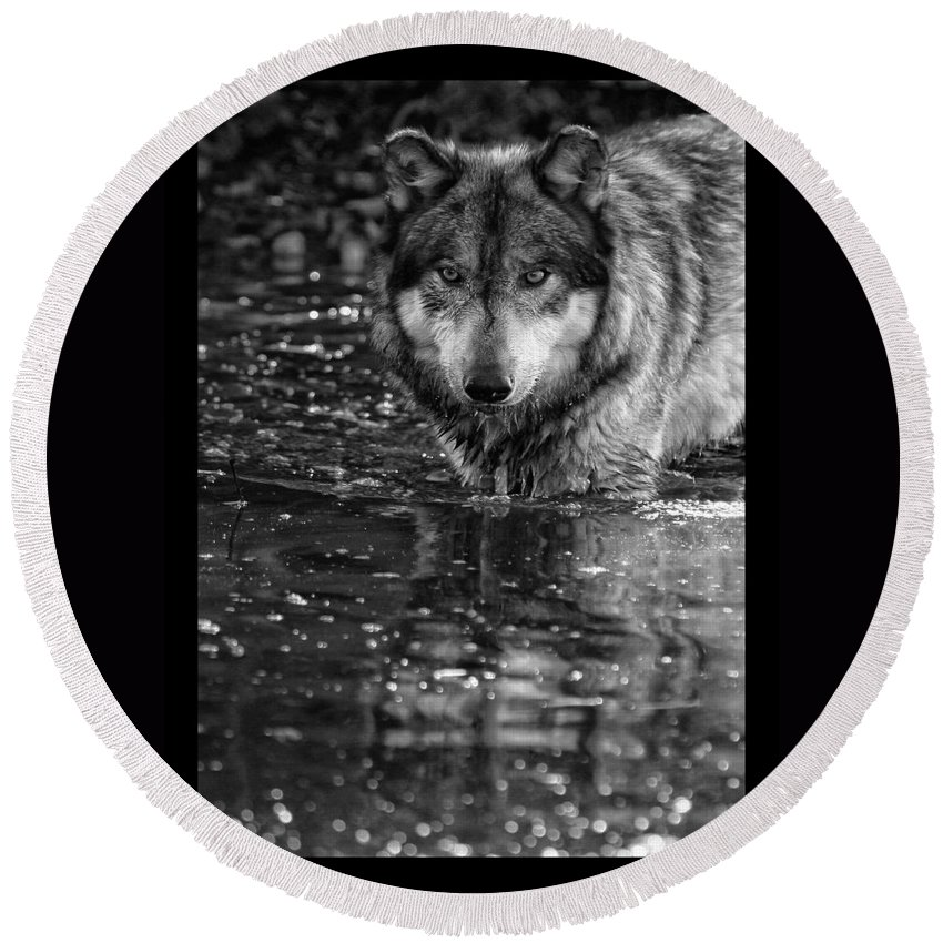 Wolf Wolves Lupine Canis Lupus Wildlife Animal Photography Photograph Round Beach Towel featuring the photograph Intense Reflection by Shari Jardina