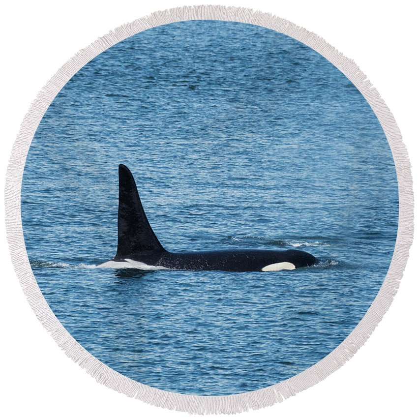 Orca Round Beach Towel featuring the photograph J27 Blackberry by Stephanie McDowell