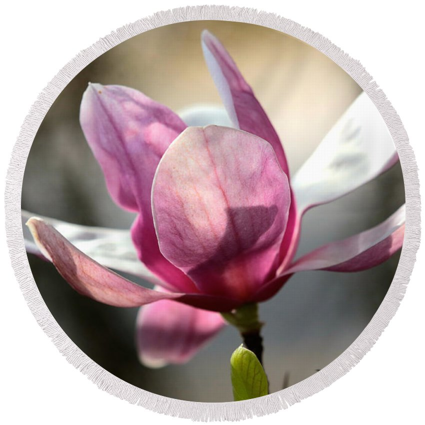 Saucer Magnolia Round Beach Towel featuring the photograph Japanese Magnolia by Carol Groenen