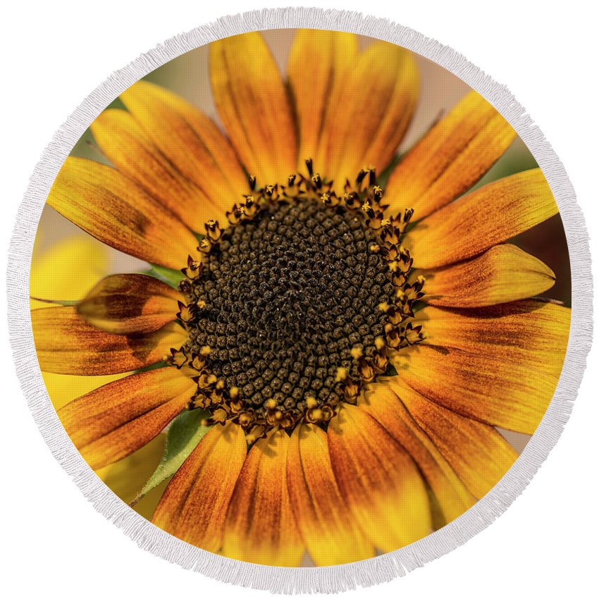 Sunflower Round Beach Towel featuring the photograph June Sunflowers #2 by Kevin McCollum