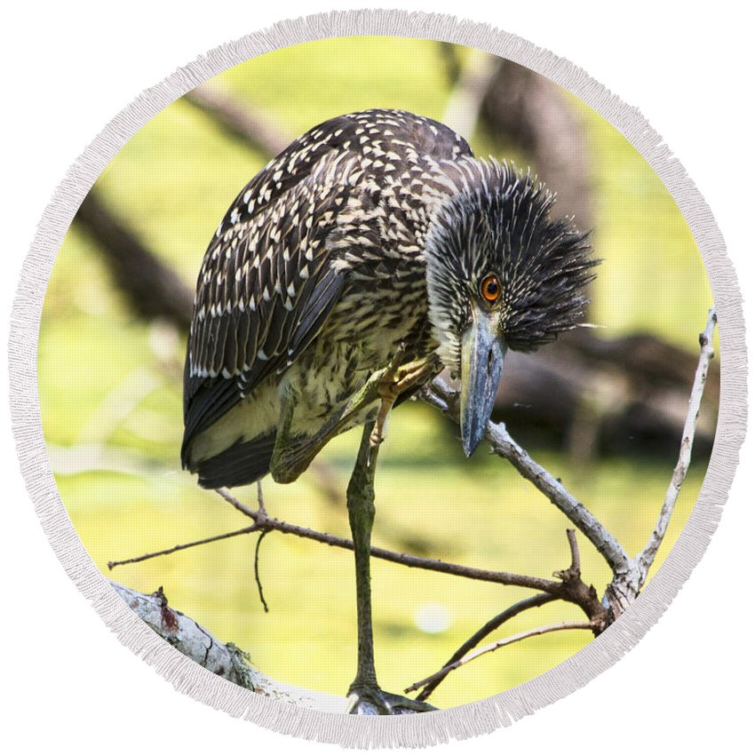 Black Crowned Night Heron Round Beach Towel featuring the photograph Juvenile Black Crowned Night Heron by TN Fairey