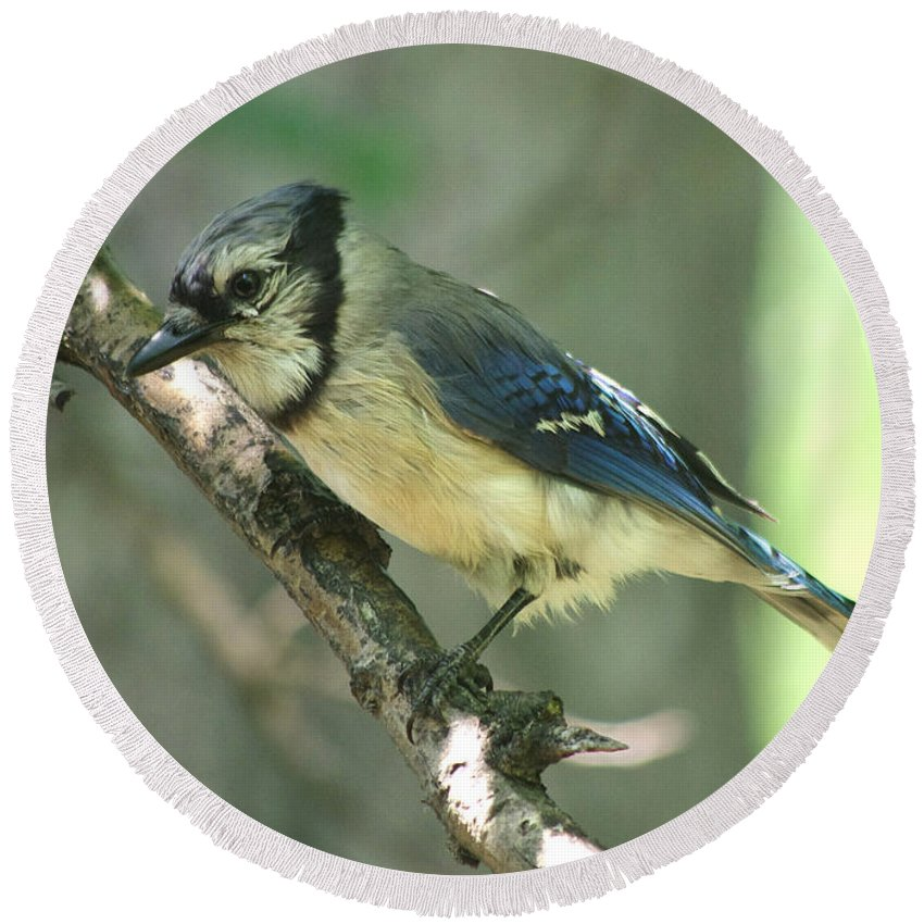 Round Beach Towel featuring the photograph Juvenile Blue Jay by Jenny Gandert