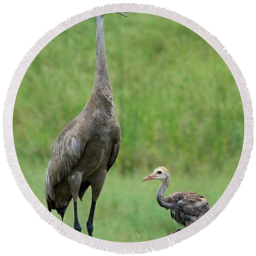 Sandhill Cranes Round Beach Towel featuring the photograph Juvenile Sandhill Crane With Protective Papa by Carol Groenen