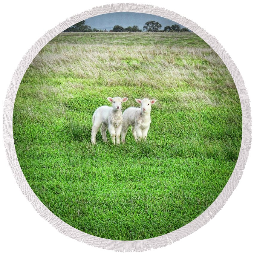Lambs Round Beach Towel featuring the photograph Kinda Sheepish by Douglas Barnard