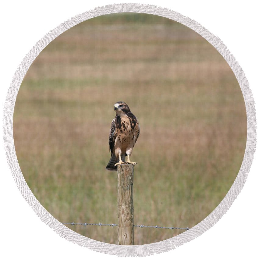Hawk Wild Bird Nature Grass Fence Barbwire Flying Round Beach Towel featuring the photograph King Of His Domain. by Andrea Lawrence