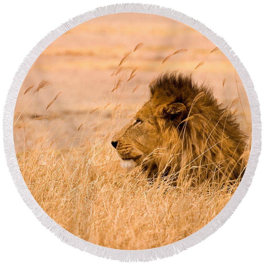 3scape Round Beach Towel featuring the photograph King Of The Pride by Adam Romanowicz