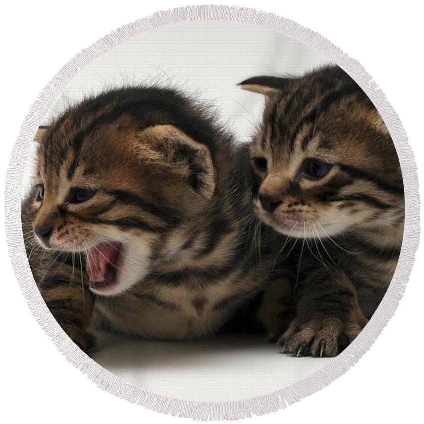 Cat Round Beach Towel featuring the photograph Kittens by Yedidya yos mizrachi