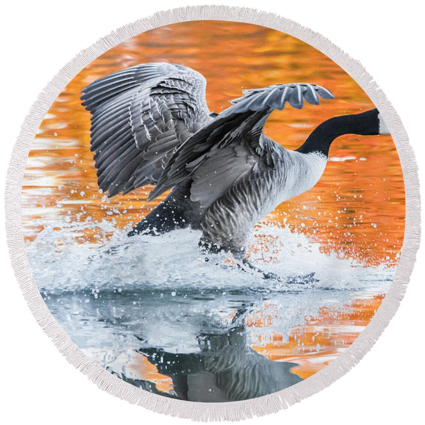 Canadian Goose Round Beach Towel featuring the photograph Landing by Parker Cunningham