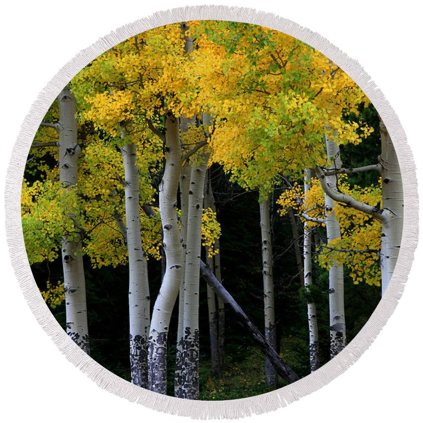 Aspens Round Beach Towel featuring the photograph Leaning Aspen by Timothy Johnson