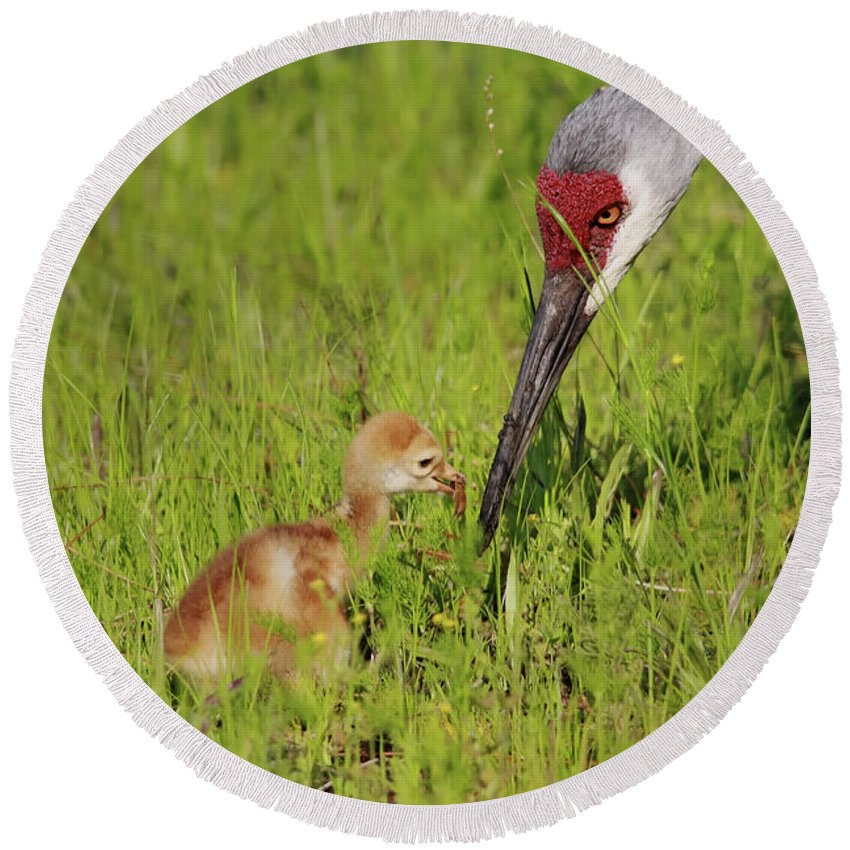 Sandhill Crane Round Beach Towel featuring the photograph Learning To Eat by Deborah Benoit
