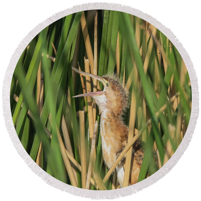 Least Round Beach Towel featuring the photograph Least Bittern Yawn 3860 by Tam Ryan