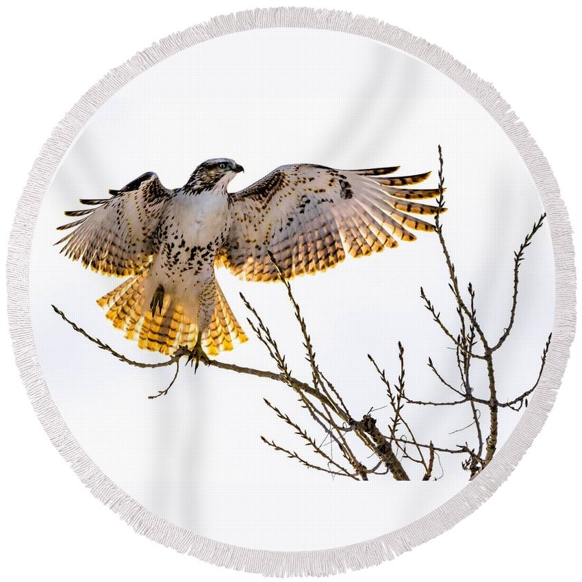 Hawk Round Beach Towel featuring the photograph Leg Up by Dave Taylor
