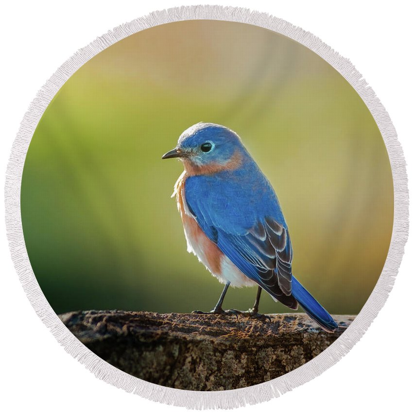 Sialia Mexicana Round Beach Towel featuring the photograph Lenore's Bluebird by Robert Frederick