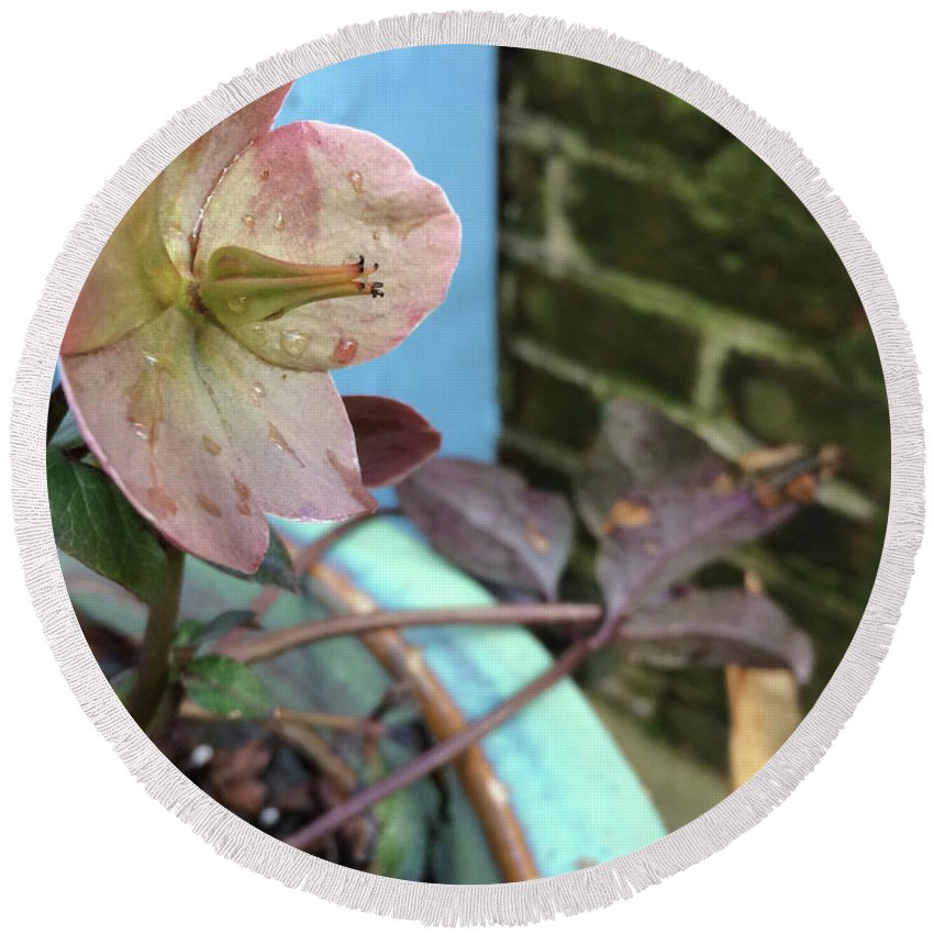 Hellebore Round Beach Towel featuring the photograph Lenten Rose After An April Shower by Clay Cofer