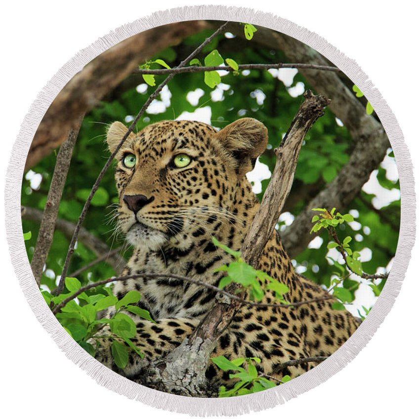 Africa Round Beach Towel featuring the photograph Leopard With Piercing Eyes by Kay Kochenderfer