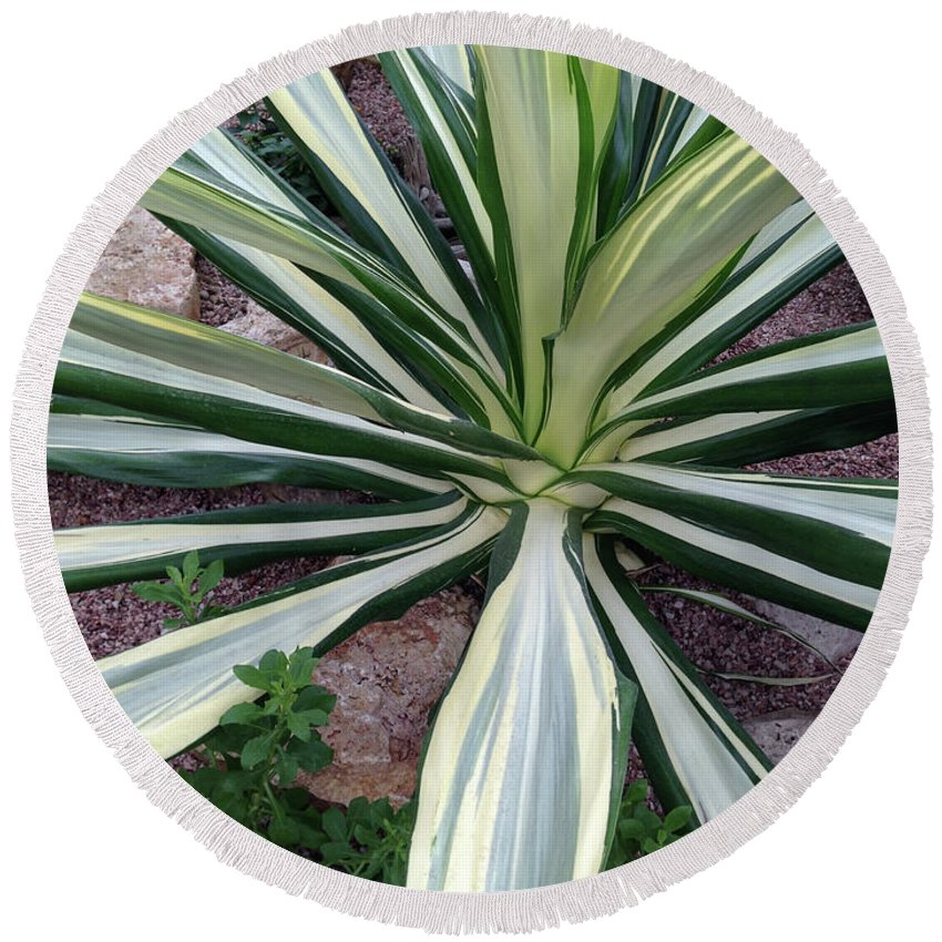 Green Round Beach Towel featuring the photograph Agave Fourcroydes by Gordon Bailey