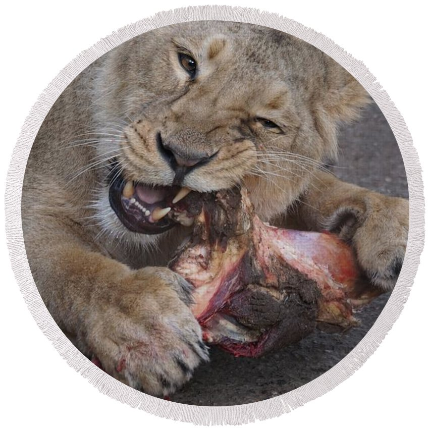 Lion Round Beach Towel featuring the photograph Lion Eating by FL collection