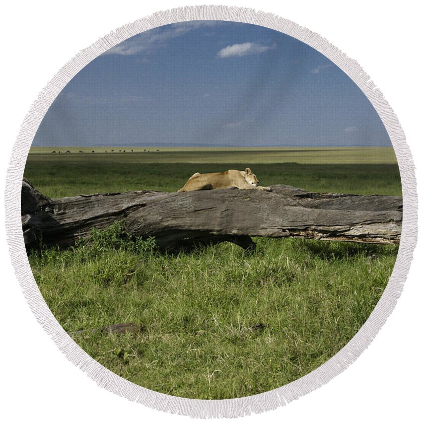 Africa Round Beach Towel featuring the photograph Lion on a Log by Michele Burgess