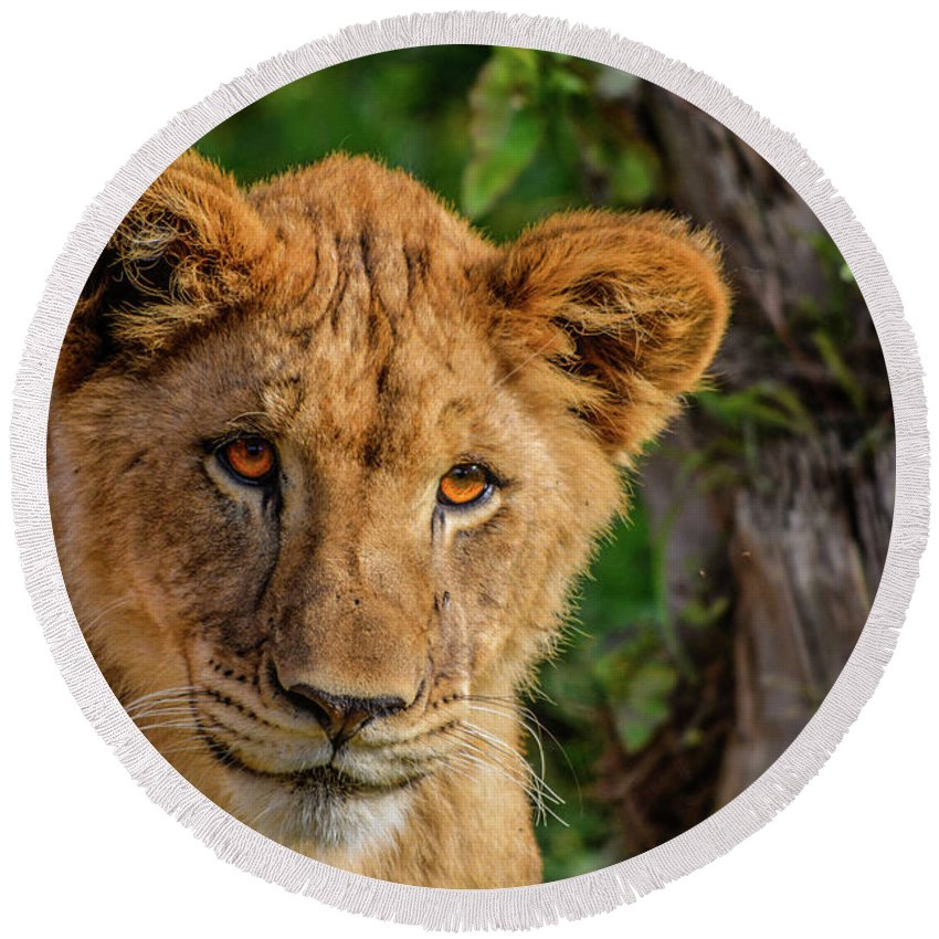 California Round Beach Towel featuring the photograph Lioness Cub by Tommy Anderson