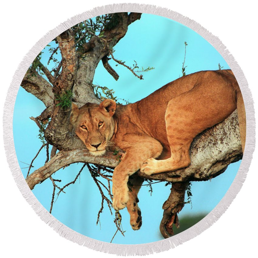 Africa Round Beach Towel featuring the photograph Lioness In Africa by Sebastian Musial