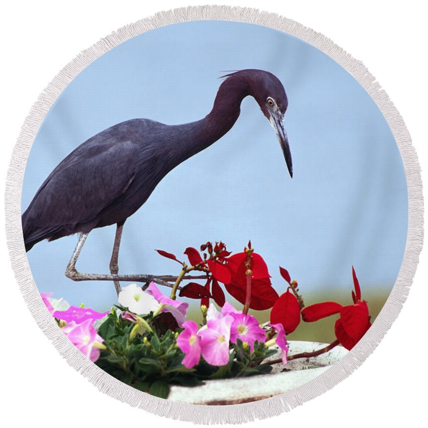 Little Blue Heron In Flower Pot Round Beach Towel featuring the photograph Little Blue Heron In Flower Pot by Sally Weigand