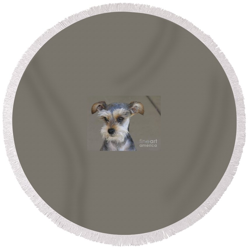 Schnausher Round Beach Towel featuring the photograph Little Guy by Diane Greco-Lesser