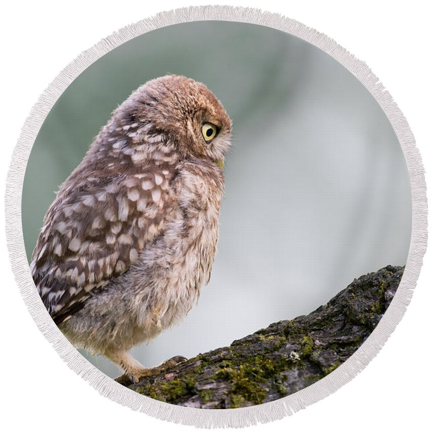 Athene Noctua Round Beach Towel featuring the photograph Little Owl Chick Practising Hunting Skills by Roeselien Raimond