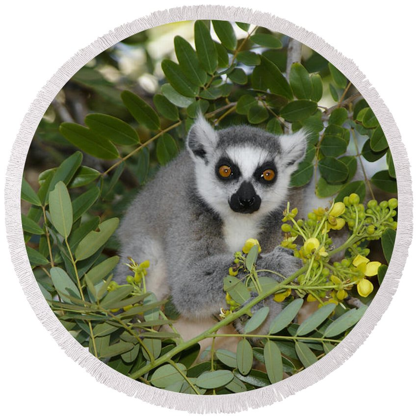 Madagascar Round Beach Towel featuring the photograph Little Ring-tailed Lemur by Michele Burgess