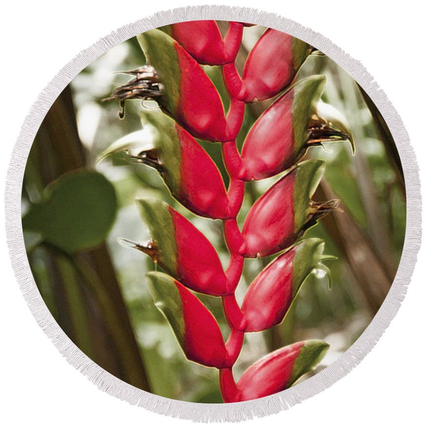Heliconia Rostrata Round Beach Towel featuring the photograph Lobster Claw by Steven Sparks