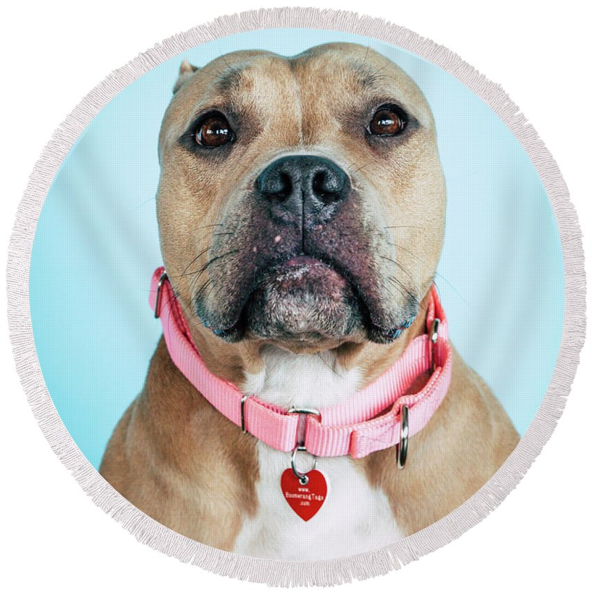 Dog Round Beach Towel featuring the photograph Lollipop 5 by Pit Bull Headshots by Headshots Melrose