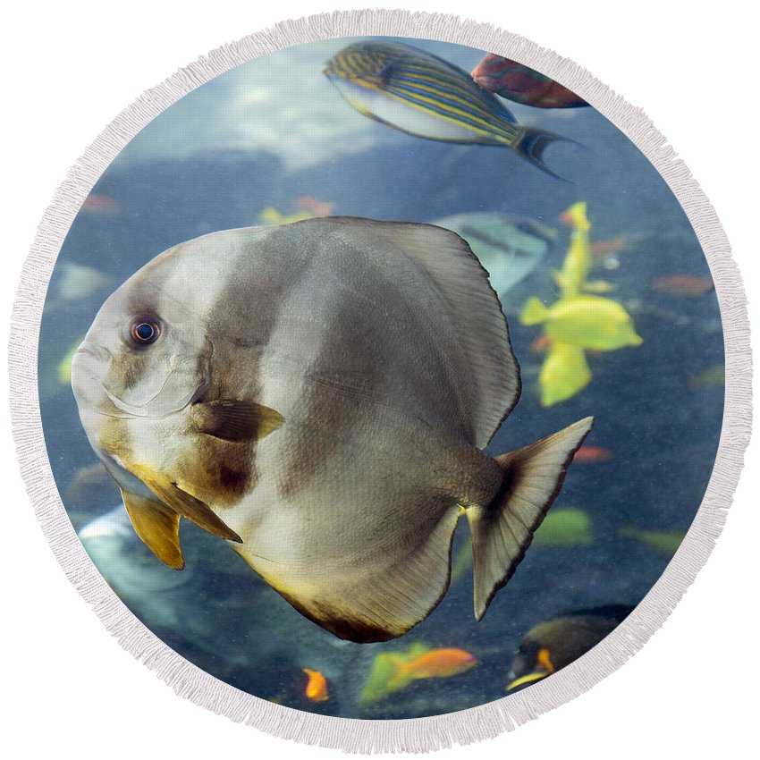 Longfin Round Beach Towel featuring the photograph Longfin Batfish by Betsy Knapp