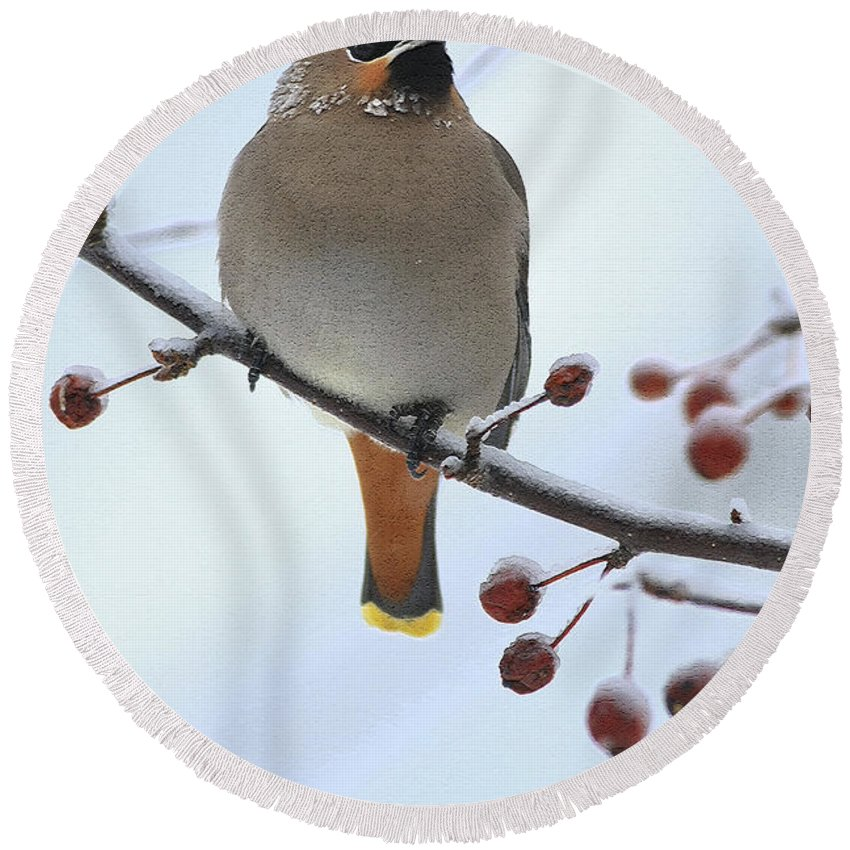 Waxwing Round Beach Towel featuring the photograph Look At All The Red Berries by Deborah Benoit