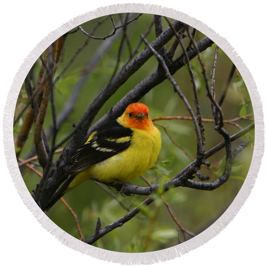 Bird Feathers Western Tanager Wildlife Orange Yellow Black Round Beach Towel featuring the photograph Looking At You - Western Tanager by Shari Jardina