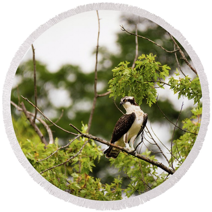 Osprey Round Beach Towel featuring the photograph Looking For Fish by Henry Kim