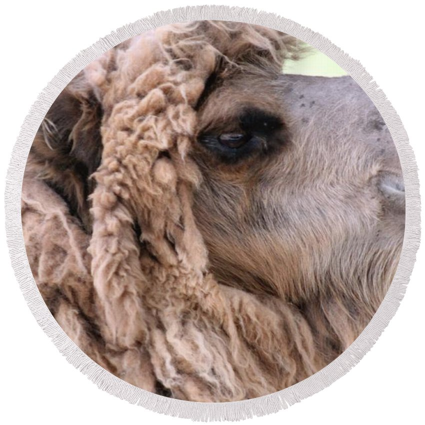Camel Round Beach Towel featuring the photograph Looking Good by Wendy Gertz
