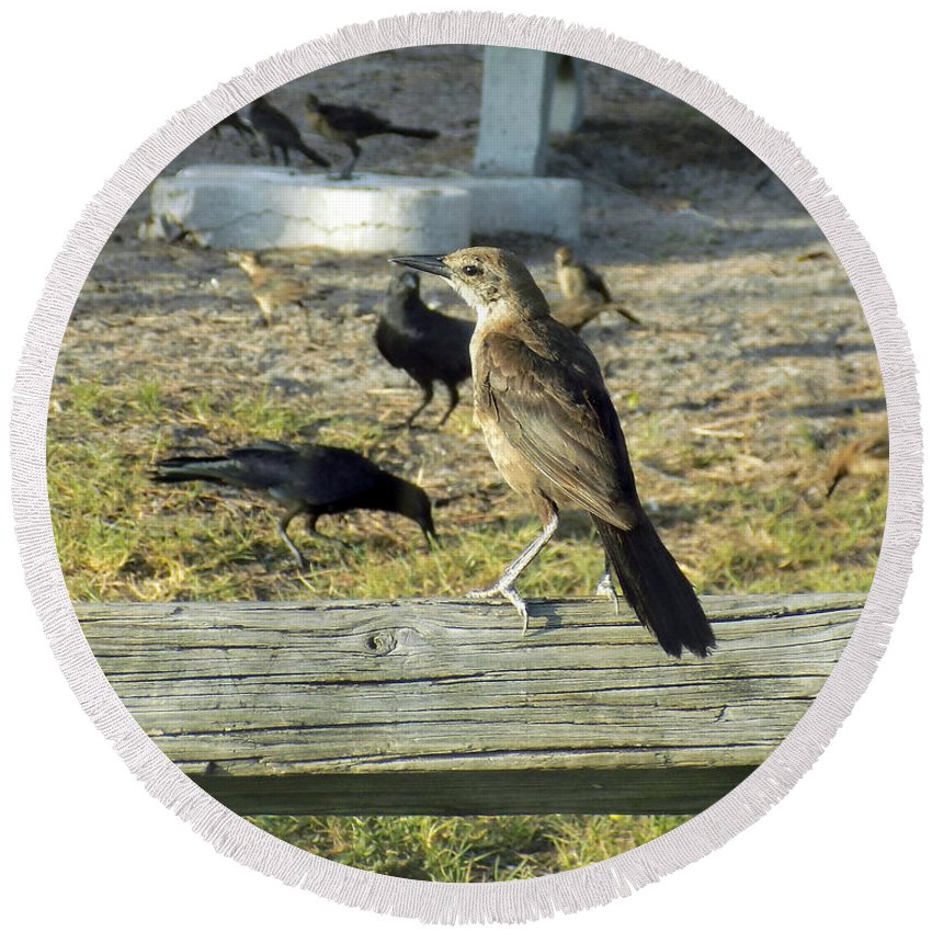 Boat-tailed Grackles Round Beach Towel featuring the photograph Looking Over The Frenzy by William Tasker