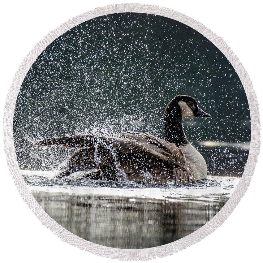 Canada Goose Round Beach Towel featuring the photograph Splish Splash by Joy McAdams