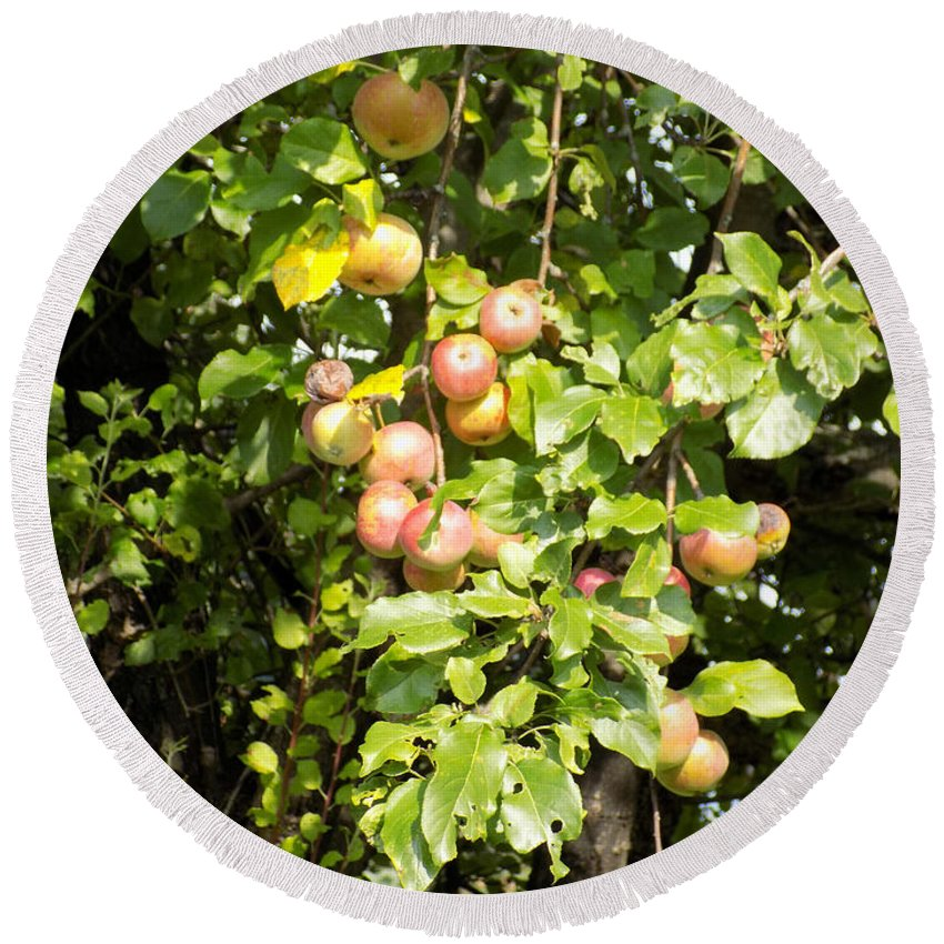 Apples Round Beach Towel featuring the photograph Lovely Apples On The Tree by William Tasker