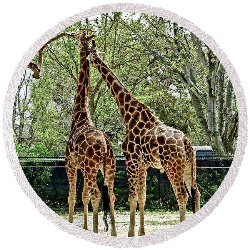 Giraffe Round Beach Towel featuring the photograph Loving by Frances Ann Hattier