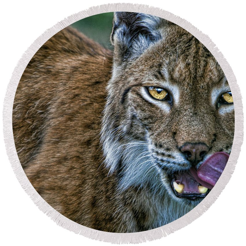 Cat Round Beach Towel featuring the photograph Lynx Licks Lips by Chris Lord