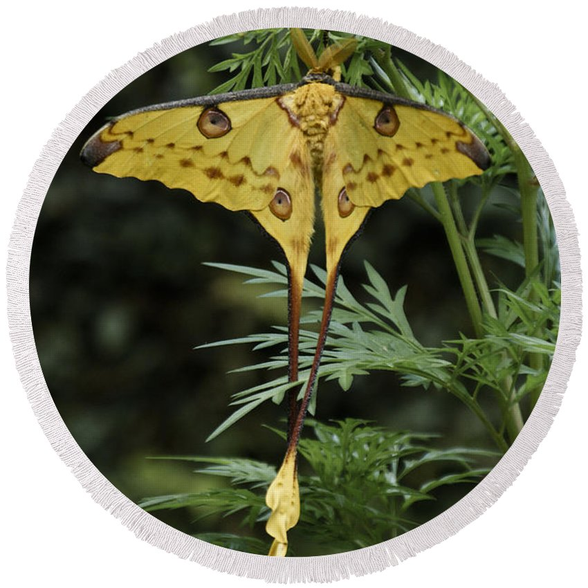 Madagascar Round Beach Towel featuring the photograph Madagascar Comet Moth by Michele Burgess