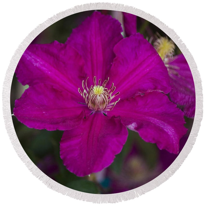 Magenta Round Beach Towel featuring the photograph Magenta Clematis by Jim And Emily Bush